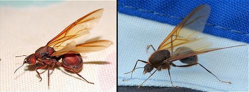 atta , atta sexdens , listove mravce