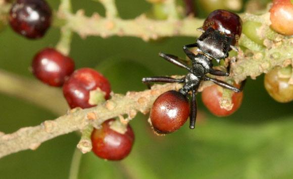 cephalotes , Myrmeconema neotropicum , mravce , parazity