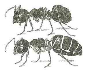 zaludok mravca