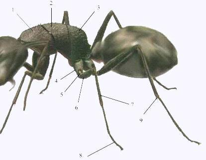 hrud mravca