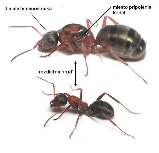 Formica rufibarbis