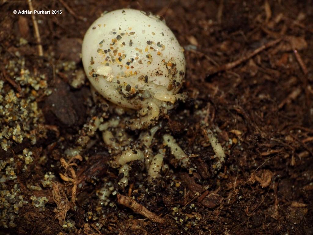 megaselia scalaris egg gecko