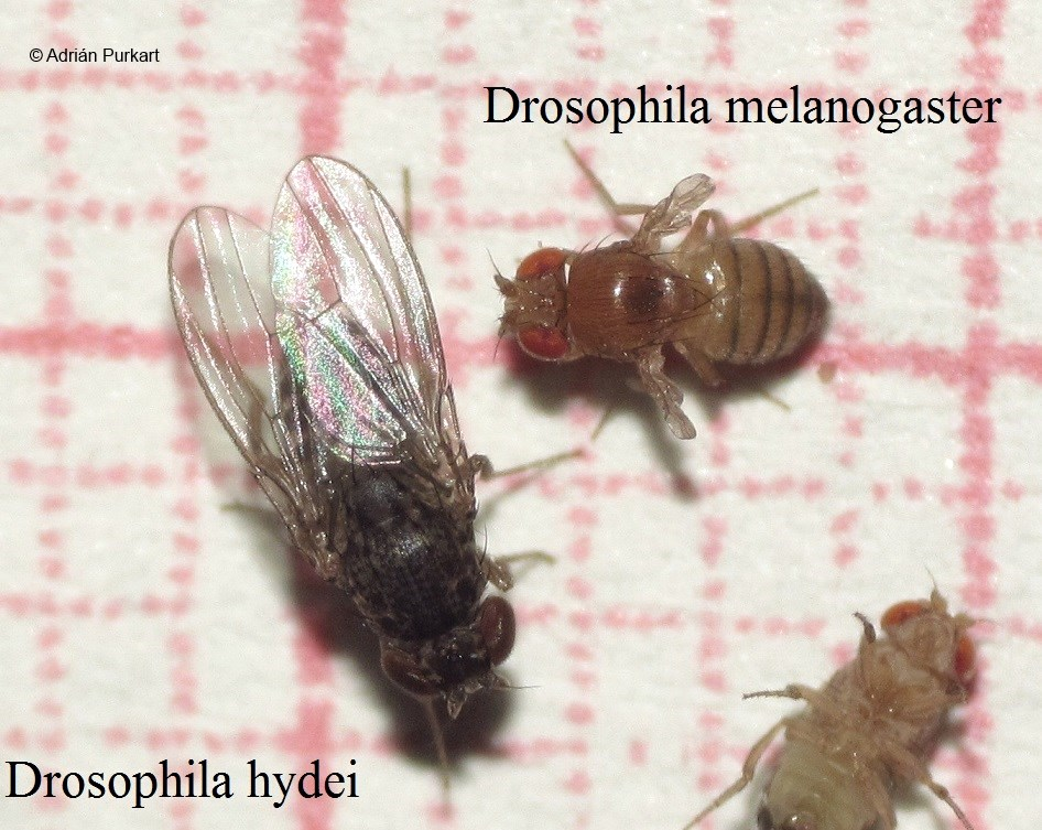 Drosophilla hydei vs melanogaster