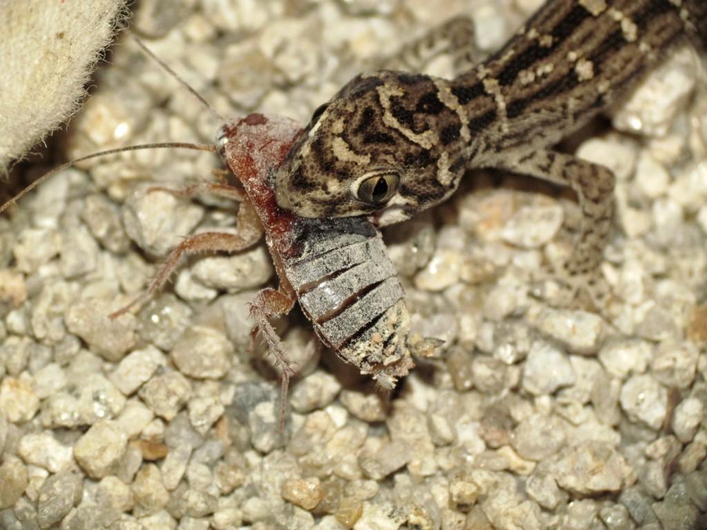 Hemidactylus imbricatus