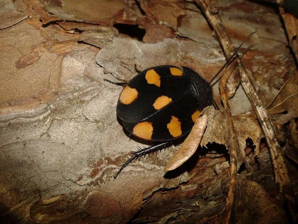 Therea regularis