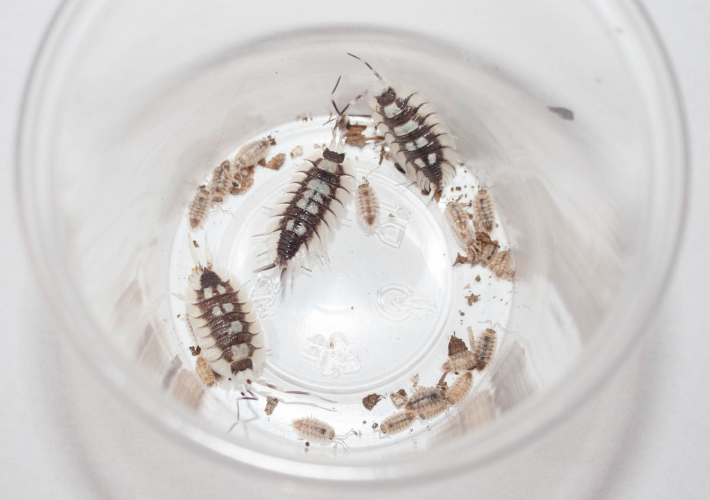 porcellio expansus breeding